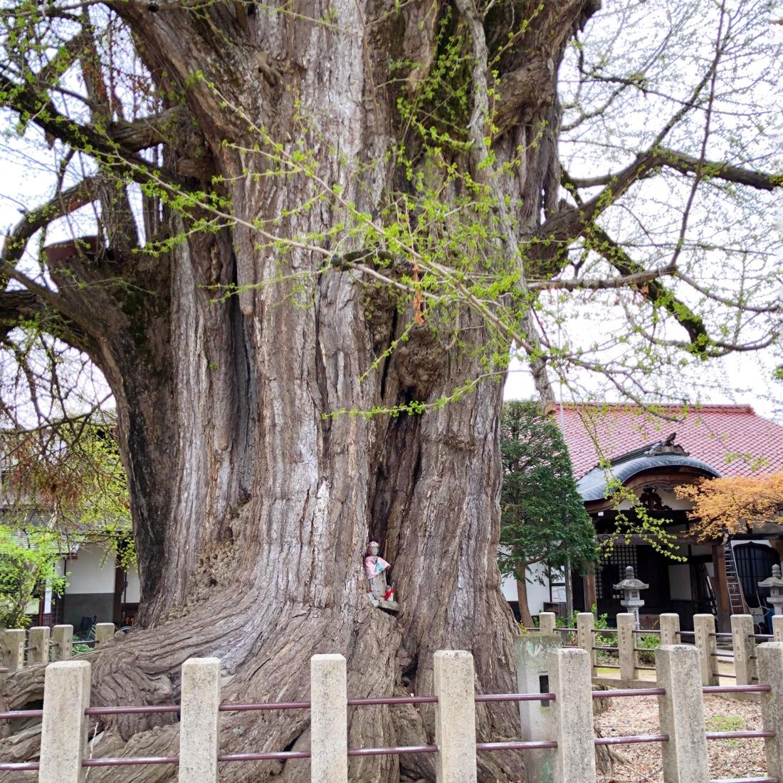 飛騨高山国分寺にある銀杏の木